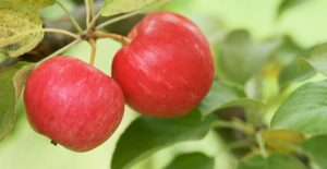 manzanas-grado-A